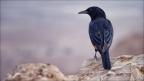 Masada-Vogel-1 -- Israel und Jordanien