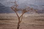 Timna-Park-Baum -- Israel und Jordanien