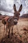 Petra-Esel-WW-1 -- Israel und Jordanien
