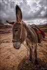 Petra-Esel-WW-Kopf -- Israel und Jordanien