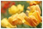 Tulpen soft -- SONY DSC