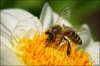 Biele auf Blume