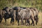Büffel-Herde