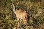 Kudu-Kuh mit Jugem