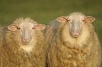 2 Schafe I