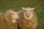 2 Schafe II