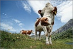 Kuh mit Weitwinkel