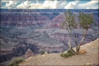 grand-canyon-tree